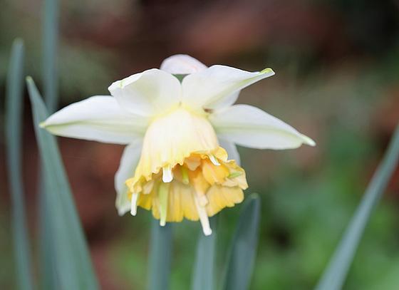 Narcissus - les narcisses 10336242.cb5fb198.560