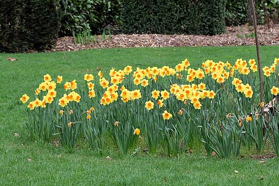 Narcissus - les narcisses 10336299.8b4c52a8.560