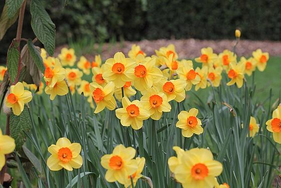 Narcissus - les narcisses 10336300.3b430d44.560