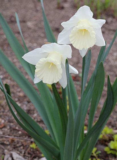 Narcissus - les narcisses 10336303.fa7eb645.560