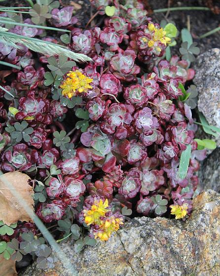 succulentes pour rocaille 10606488.71399df4.560
