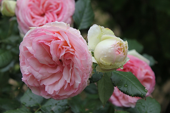 rosier 'Pierre de Ronsard' 10606564.7aaed52b.560