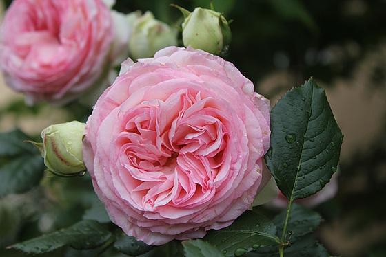 rosier 'Pierre de Ronsard' 10606565.9f5b53c7.560