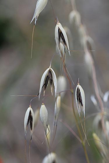 rudérales - plantes des décombres et friches enrichies en nitrate 10657040.e540e0ea.560
