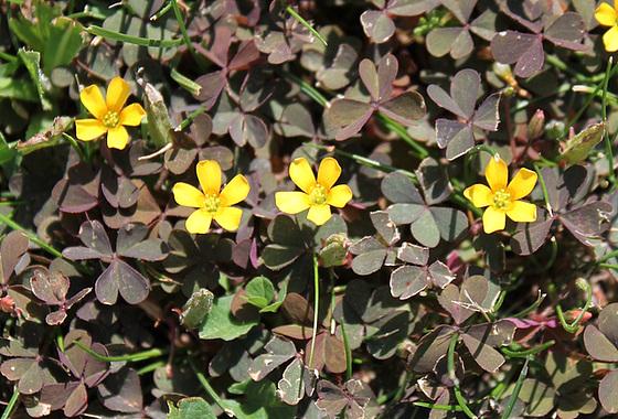 Pilosella officinarum (= Hieracium pilosella) - piloselle 10657122.44fd29ae.560