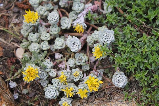 Sedum spathulifolium 10657274.4901e6ba.560