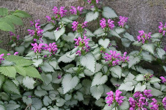 Quelques plantes d'ombre ou mi-ombre 10657381.59f20f0a.560
