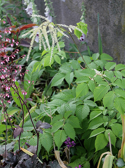 Quelques plantes d'ombre ou mi-ombre 10657383.291ff808.560
