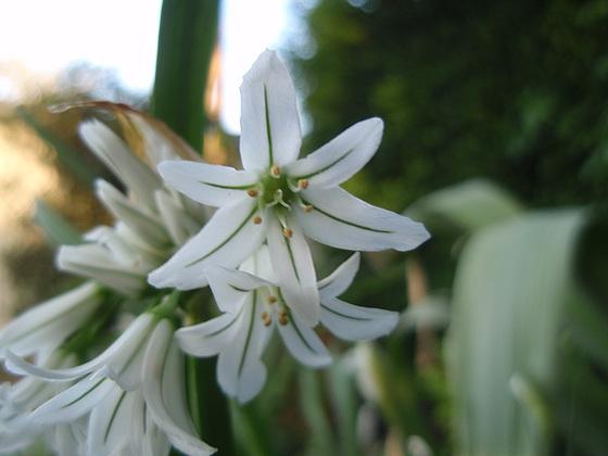 Allium - quelques espèces & variérés 10427386.6ca26349.560
