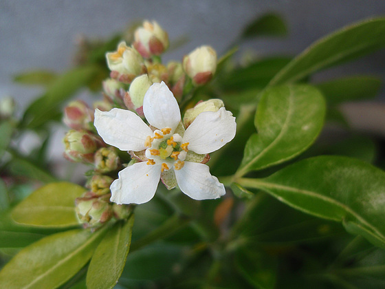 Choisya dumosa var. arizonica cv 'Aztec Pearl' 10427395.0feb5c63.560