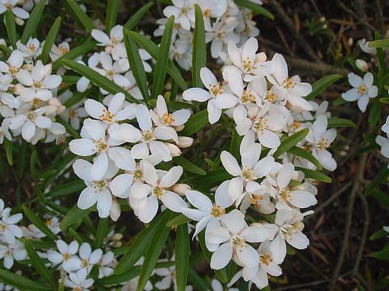 Choisya dumosa var. arizonica cv 'Aztec Pearl' 10427397.c1dc49de.560