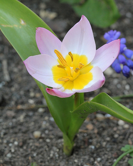 Tulipa - espèces et petits hybrides (sections 12 à 15) 10317493.b7f69e48.560