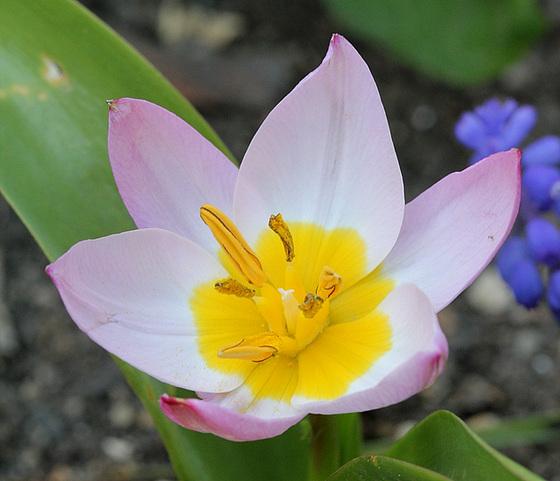 Tulipa - espèces et petits hybrides (sections 12 à 15) 10317494.a199855a.560