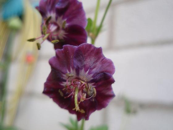 Geranium phaeum et cultivars 10427628.a36b3b4a.560