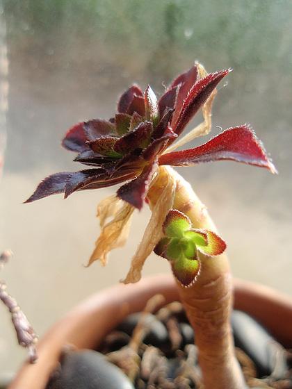 Aeonium arboreum 'Atropurpureum' 10637710.d88e8860.560