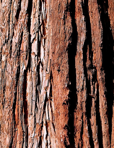 Ecorce H- Sequoïa