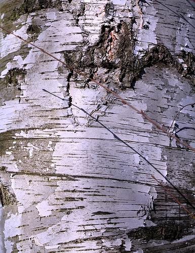 Ecorce E- Betula alba