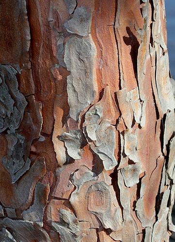 Calocedrus decurrens ( Libocedrus  )