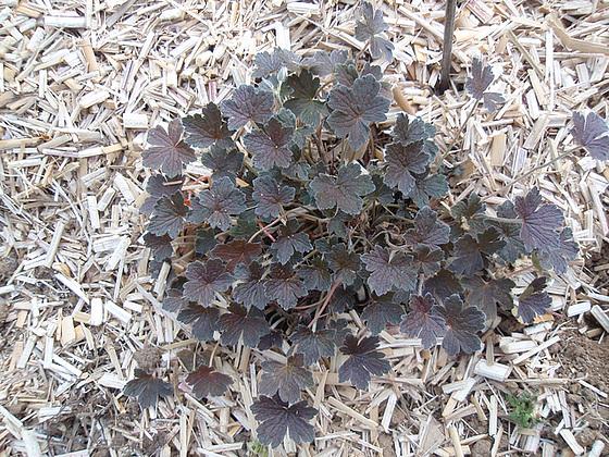 geranium x oxonianum 'sanne' P4201219
