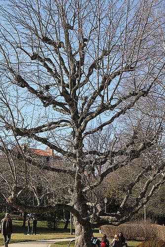 Magnolia acuminata (2)