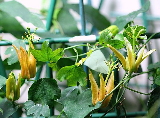 passiflores : nos floraisons [verrouillé] 10437938.85049a52.560