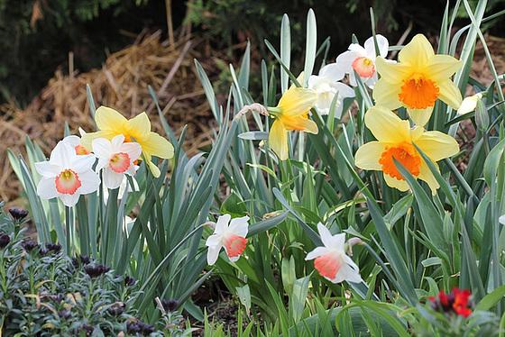 Narcissus - les narcisses 10318099.7831329b.560