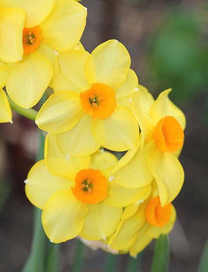 Narcissus - les narcisses 10318101.da650b99.560