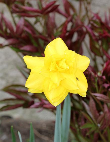Narcissus - les narcisses 10318102.5bf5e3f8.560