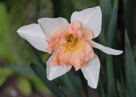 Narcissus - les narcisses 10318104.4a102a8a.560