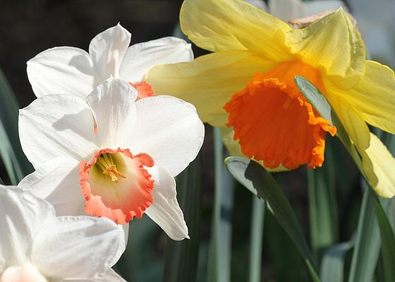 Narcissus - les narcisses 10318107.71e3f968.560