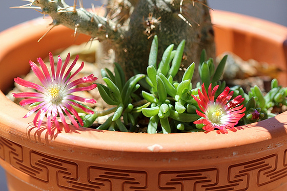 Aizoaceae du jardin  10618651.e1ee83cb.560