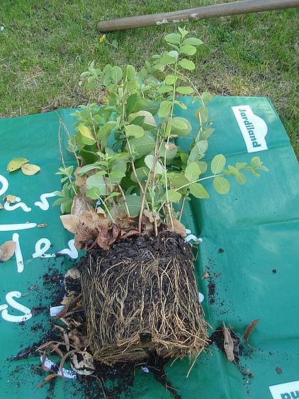 Lonicera fragantissima - chèvrefeuille 10358727.0a514120.560