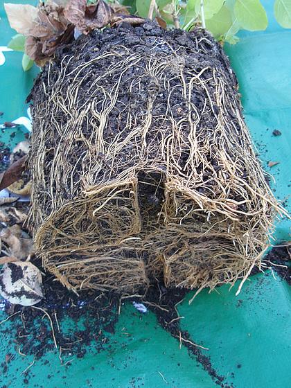 Lonicera fragantissima - chèvrefeuille 10358728.32977120.560