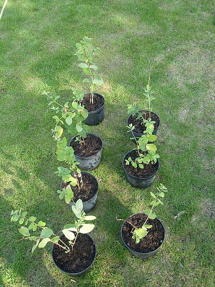 Lonicera fragantissima - chèvrefeuille 10358731.3396402c.560