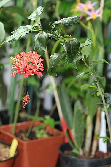 Hibiscus non rustiques: conseils de culture et floraisons 10109310.b54e277d.560