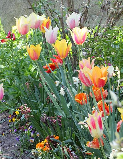 Tulipa - grands hybrides - tulipes chics et kitch (sections 1 à 11) 10409383.e459f498.560