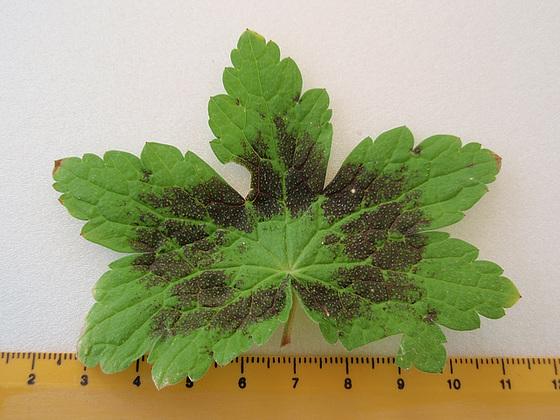 Geranium phaeum et cultivars 10599417.90ab1c41.560