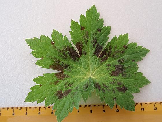 Geranium phaeum et cultivars 10599432.7f3a2854.560
