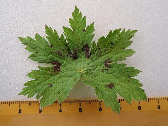 Geranium phaeum et cultivars 10599460.5297cc39.560