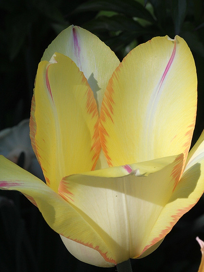 Tulipa - grands hybrides - tulipes chics et kitch (sections 1 à 11) 10409464.a6e43c01.560