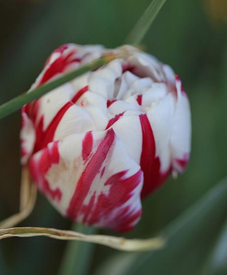 Tulipa - grands hybrides - tulipes chics et kitch (sections 1 à 11) 10479613.5dd993d1.560