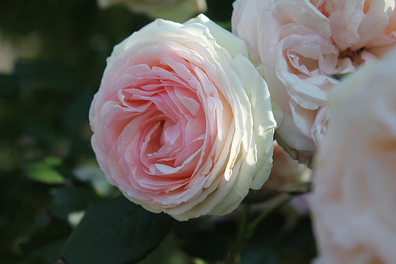 rosier 'Pierre de Ronsard' 10659620.5e22ecc5.560