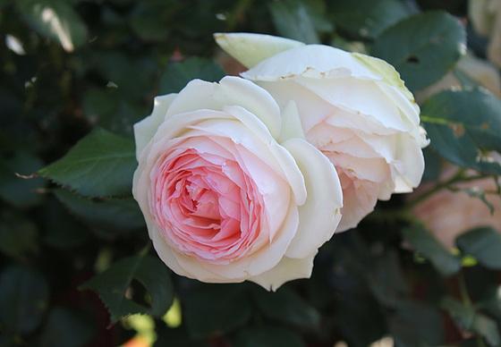 rosier 'Pierre de Ronsard' 10659621.6dee334e.560