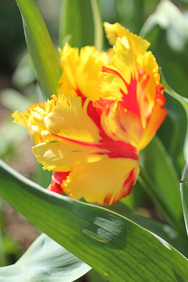 Tulipa - grands hybrides - tulipes chics et kitch (sections 1 à 11) 10479694.249a3562.560