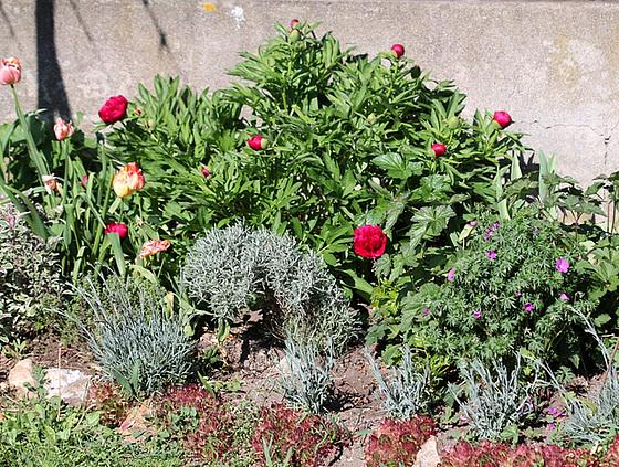 Paeonia - pivoines herbacées 10479729.dddc2c57.560