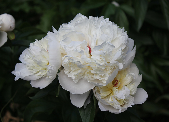 Paeonia - pivoines herbacées 10659748.a8120cd0.560