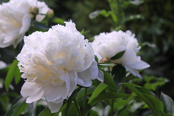 Paeonia - pivoines herbacées 10659749.7edee179.560