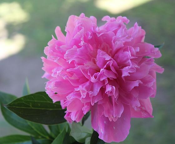 Paeonia - pivoines herbacées 10659752.7495b57c.560