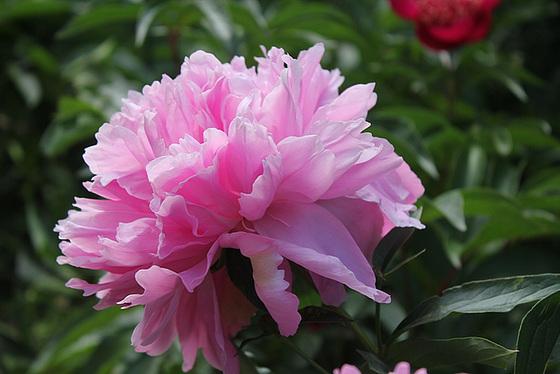 Paeonia - pivoines herbacées 10659773.eb67e1b2.560