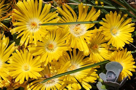 Aizoaceae du jardin  10479890.e9ce6e28.560